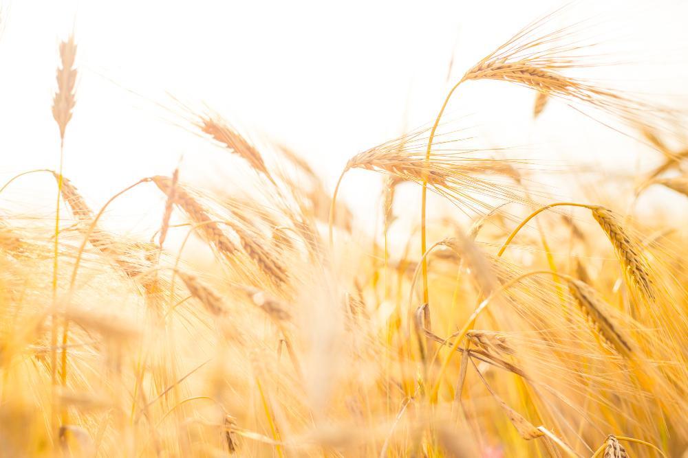 Алтайские ученые создали уникальный препарат для защиты пшеничных посевов от засухи