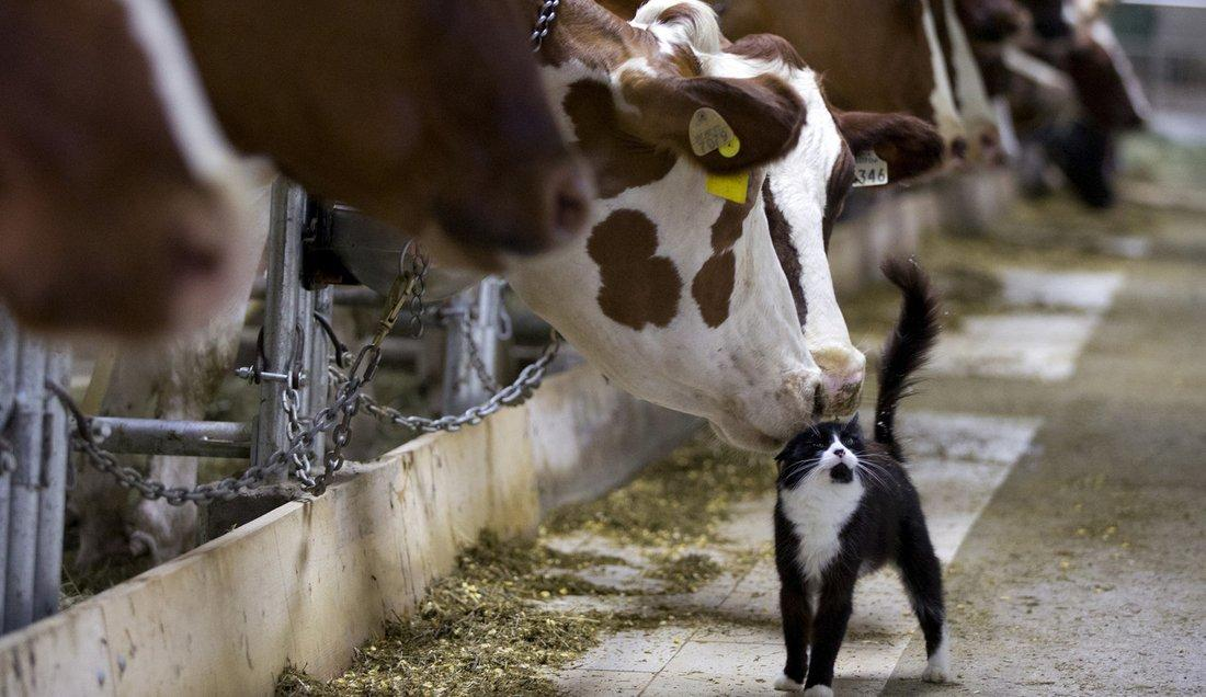 Господдержка вологодских производителей молока будет увеличена на 20%