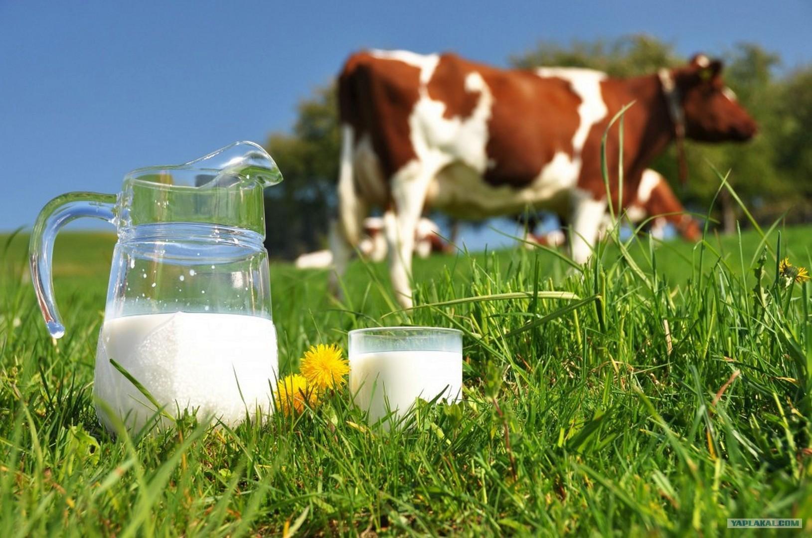 Стало известно, как выбрать хорошее молоко в России