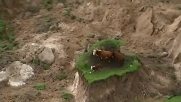 Три коровы после землетрясения в Новой Зеландии вернулись домой.